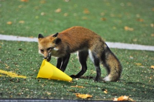 Sports hungry fox spotted at St. Mike's field